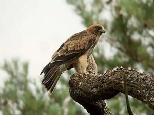 aigle-botté