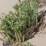 Pr rester postif: euphorbe des sables