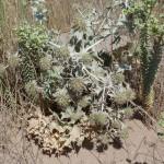 chardon bleu des dunes
