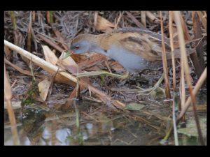 villepey-un-refuge-pour-les-oiseaux-debut-017